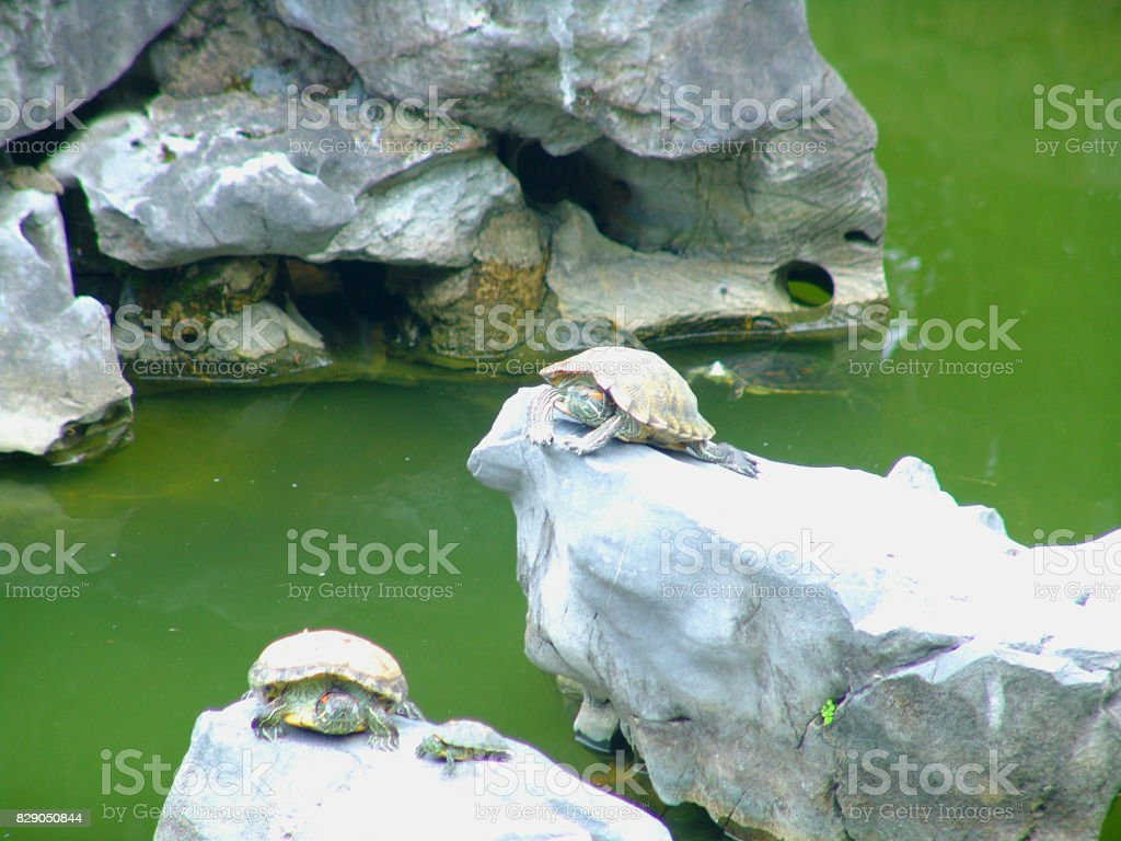 Sea turtles in the Pond in Wong Tai Sin Temple, Hong Kong stock photo