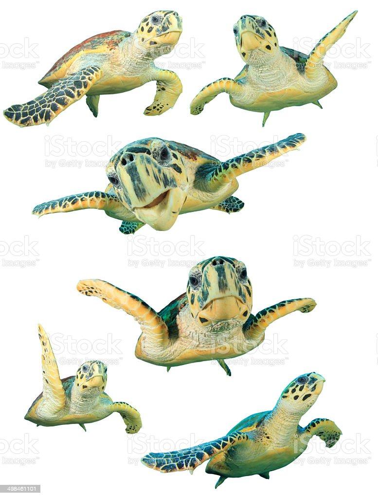 Sea Turtles isolated stock photo