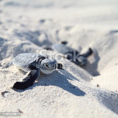 Sea Turtle Newborn. The second is in Background.