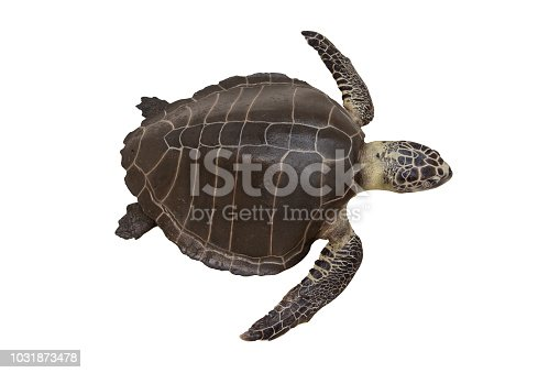Sea turtles or Marine turtles isolated on white background with clipping path