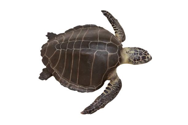 zeeschildpadden of marine schildpadden geïsoleerd op een witte achtergrond met uitknippad - leatherback stockfoto's en -beelden