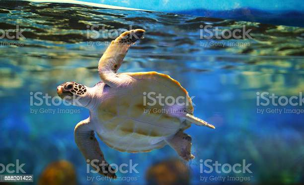 Sea turtles swim under the water picture id888201422?b=1&k=6&m=888201422&s=612x612&h=lsnkkb2f1etze3ww00npgmbavkh1r9y vkwkls9t428=