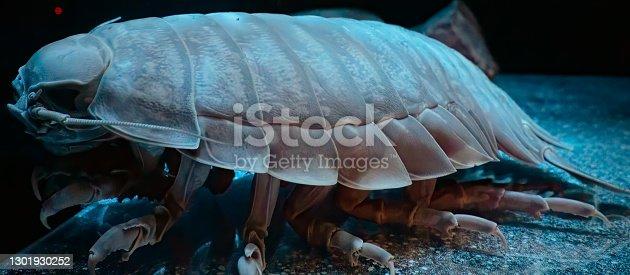 A shelled sea urhen, Giant isopod.