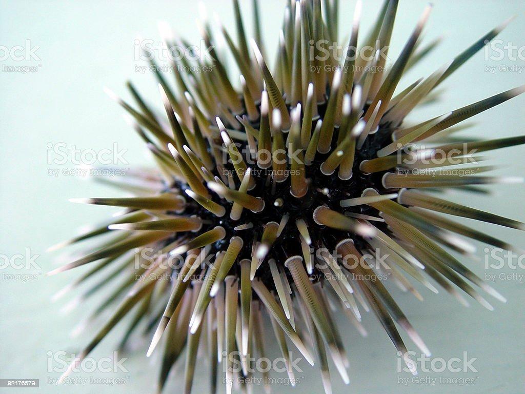 Sea Urchin 01 stock photo