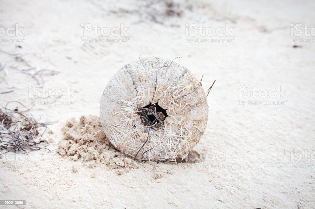 Sea urchin after dead stock photo