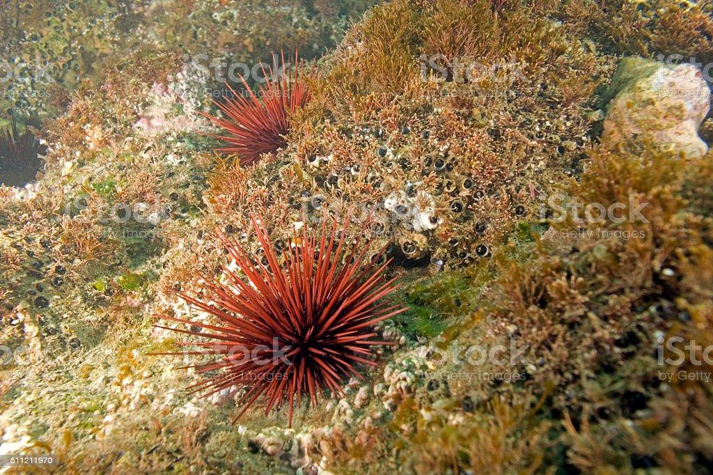 Sea urchin at Laguna Beach, California stock photo