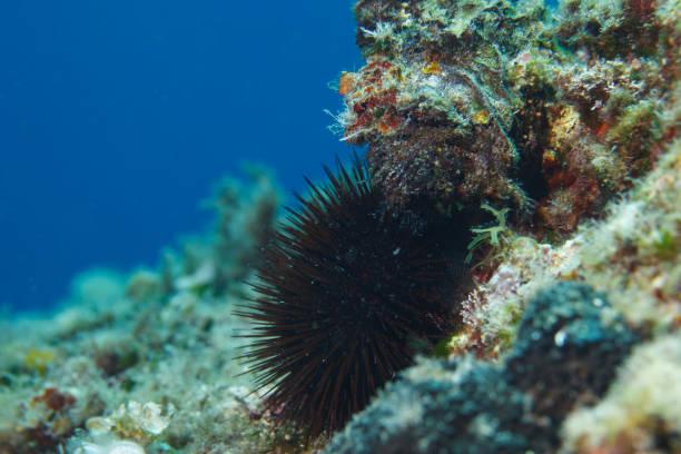 Sea Urchin Echinoderm  Underwater Sea life stock photo
