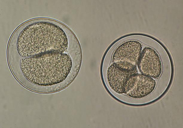 sea urchin eggs fertilization sea urchin eggs fertilization animal embryo stock pictures, royalty-free photos & images