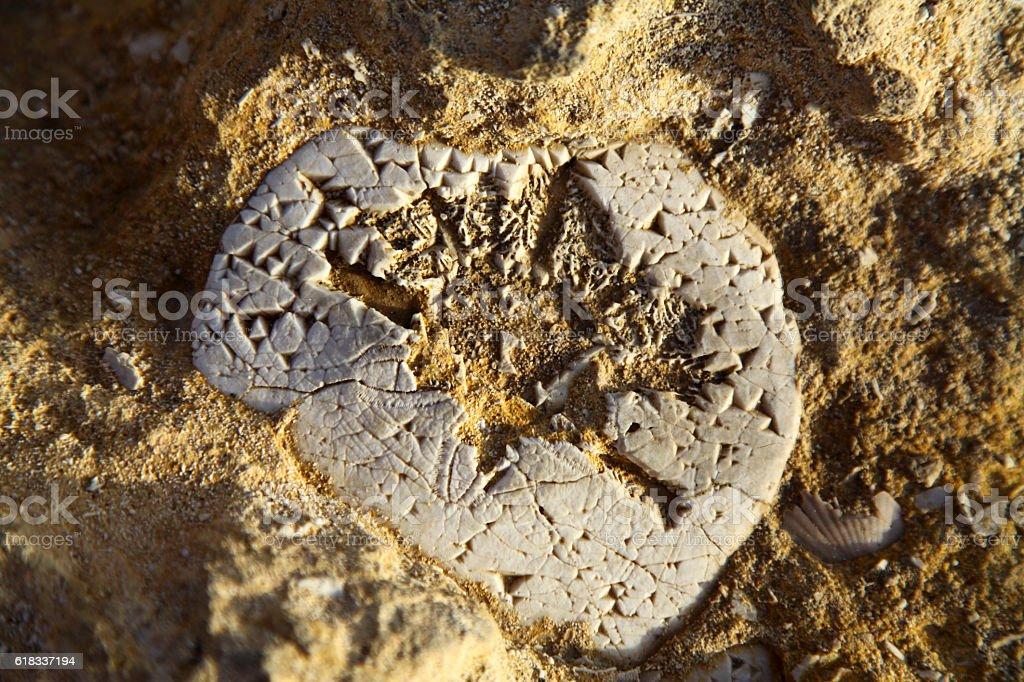 Sea urchin fossil in Limestone stock photo