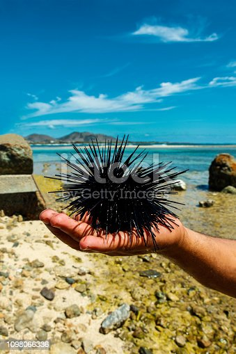 Sea urchin in hand, with beach and sea in the background.