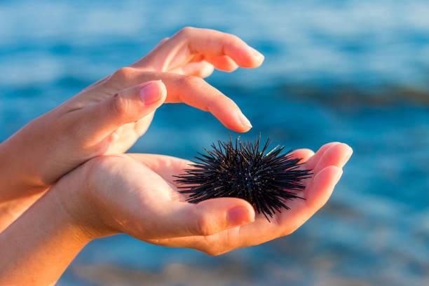 Sea urchin in woman's hand. Stock Photo stock photo