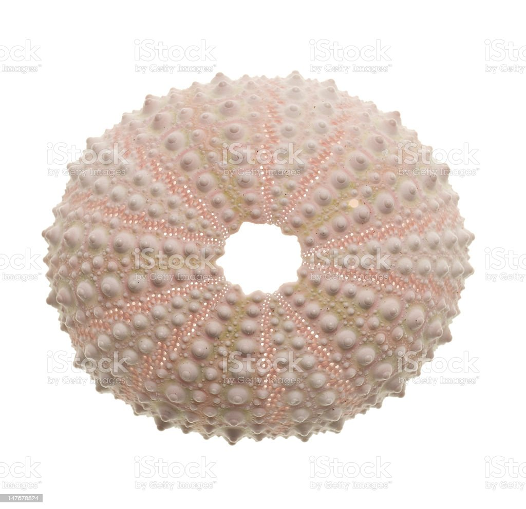 Sea Urchin isolated on white background stock photo