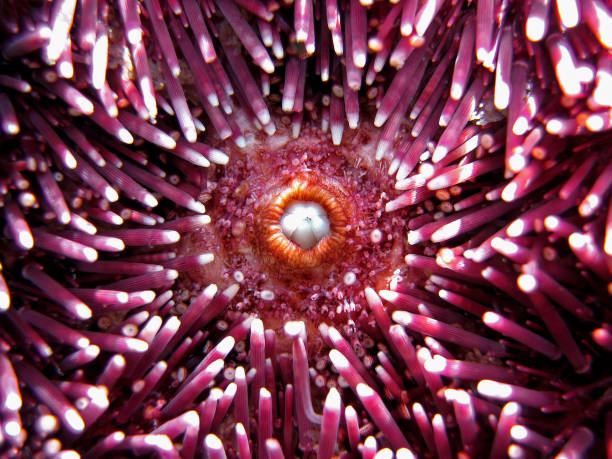 Sea urchin mouth stock photo