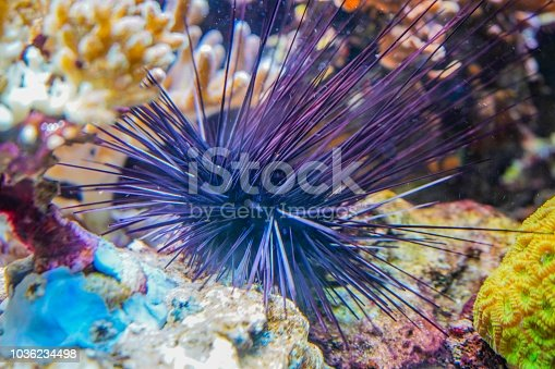 Picture shows a sea urchin next to some corals.