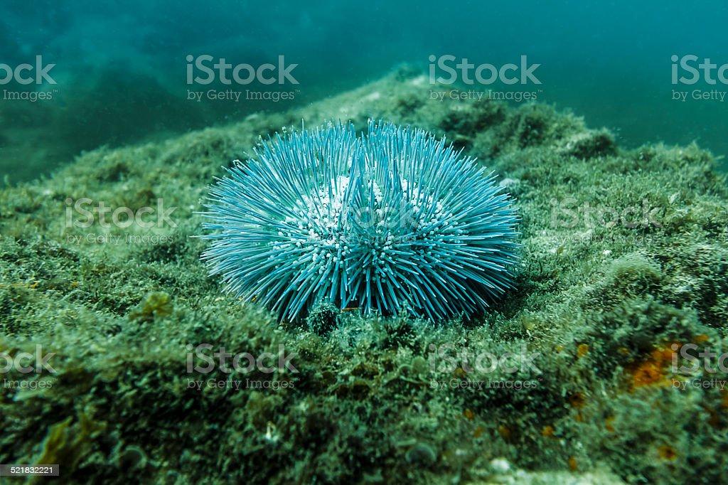 Ouriço-do-mar - foto de acervo