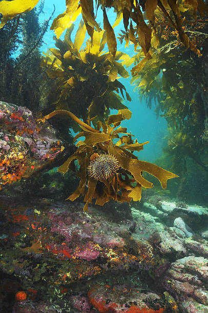 Sea urchin on brown stalked kelp stock photo