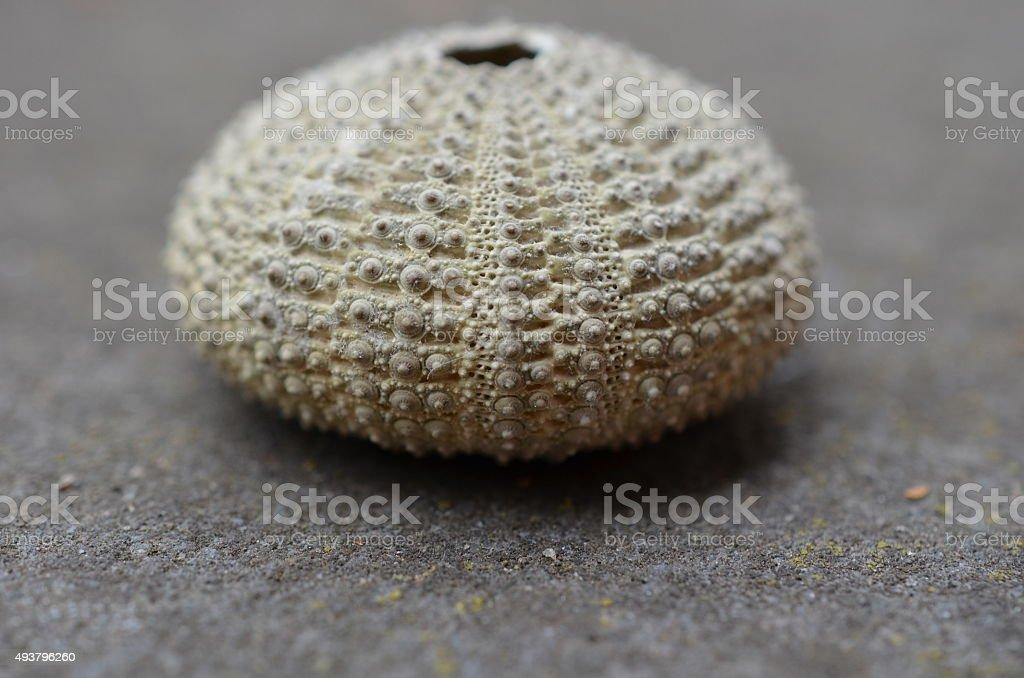 Sea urchin on grey surface. stock photo