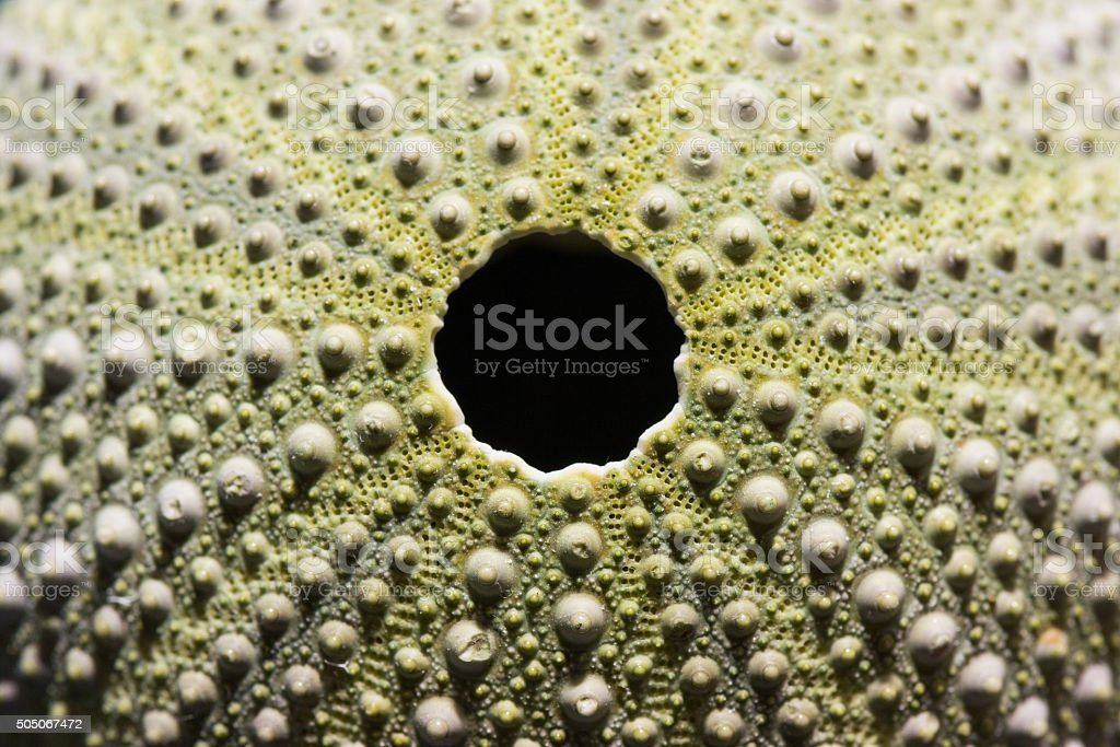 Sea urchin stock photo