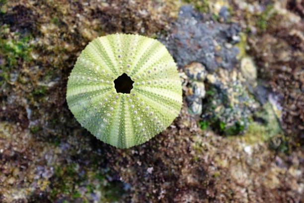 Sea urchin shell  by rock pool stock photo