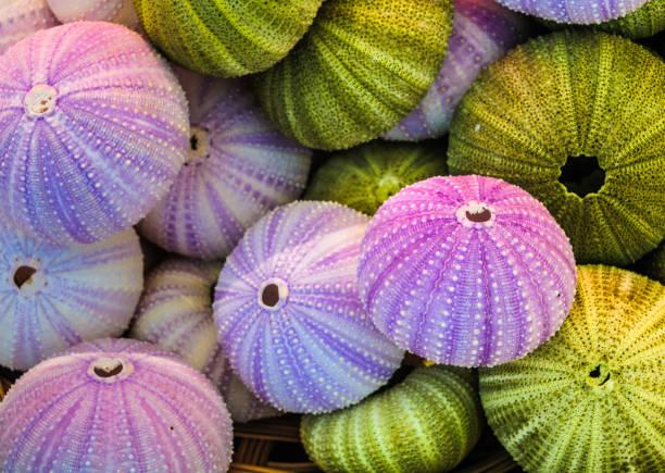 Sea Urchin Shells stock photo