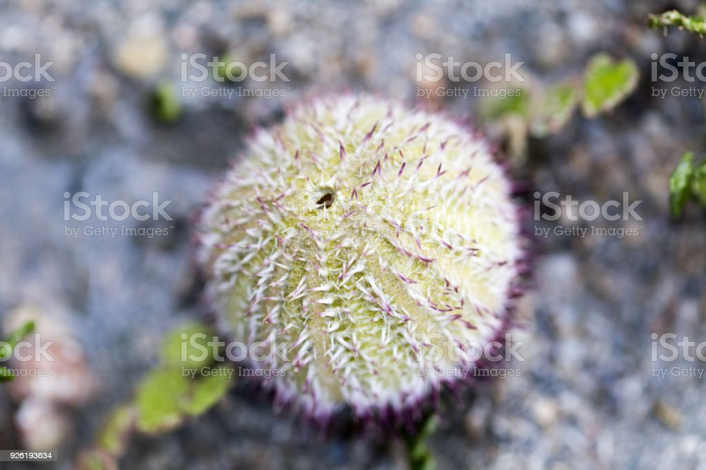 Sea urchins or urchins, archaically called sea hedgehogs, are spiny, globular animals in the class Echinoidea in sea for education. stock photo