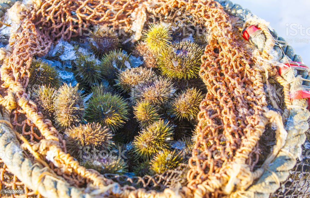 sea urchins produced at the bottom of the sea in the grid stock photo