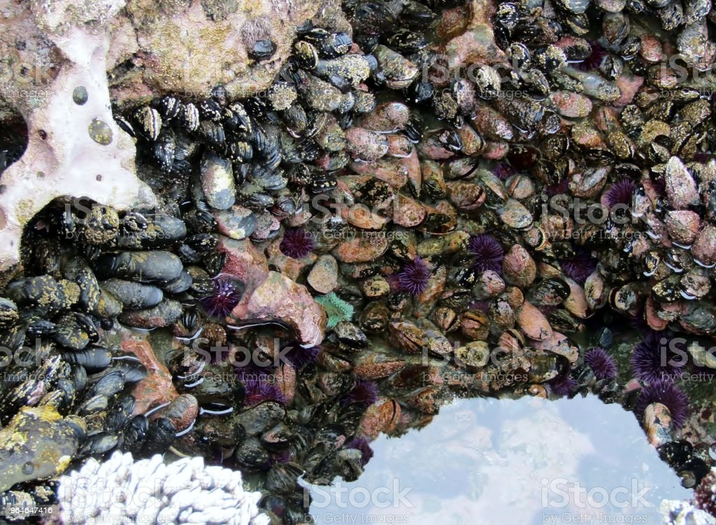 Sea urchins, sea anemones an mussels at Botanical Beach in low tide, Vancouver Island, British Columbia, Canada royalty-free stock photo