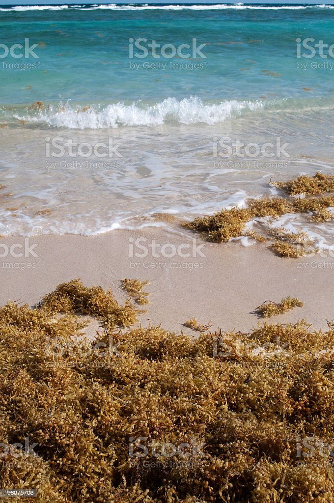 Sea weed and turquoise ocean royalty-free stock photo