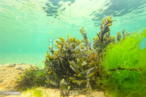 Sea weeds green on the ocean floor off the coast of Brittany, France during a beautiful summer day.