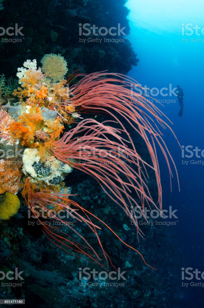 Sea Whips and Diver stock photo