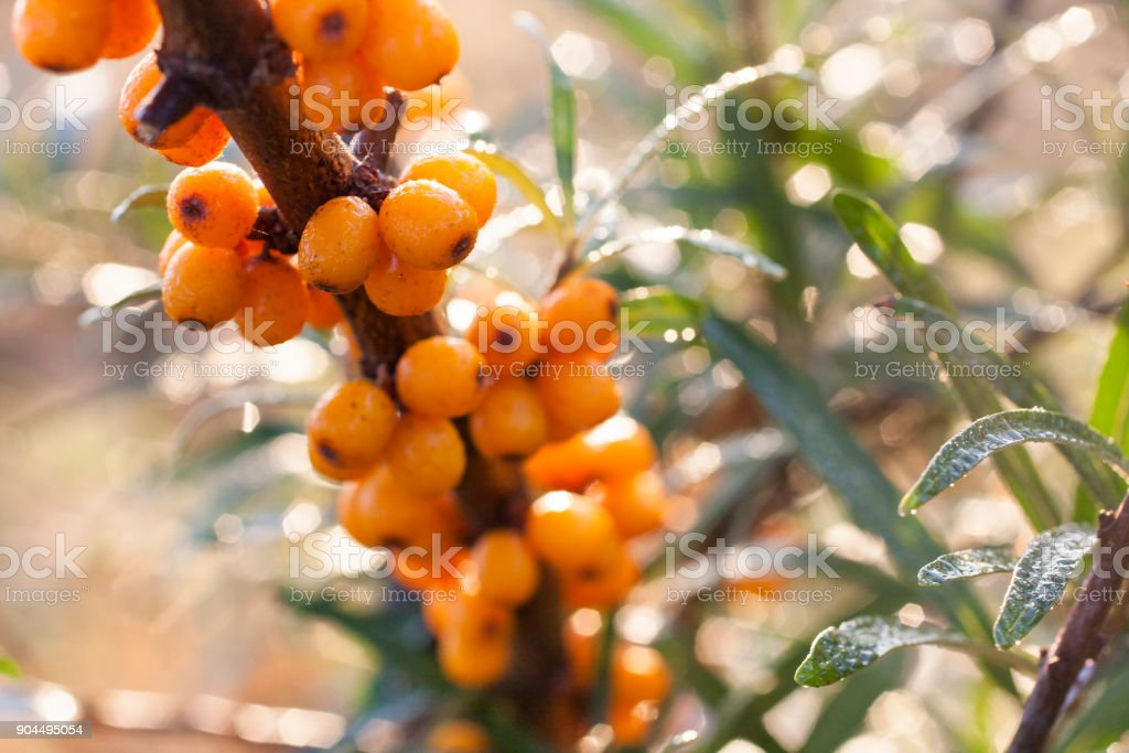 Seaberry background branch. stock photo