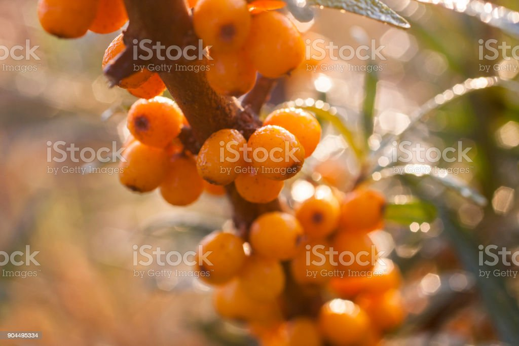 Seaberry background close up stock photo