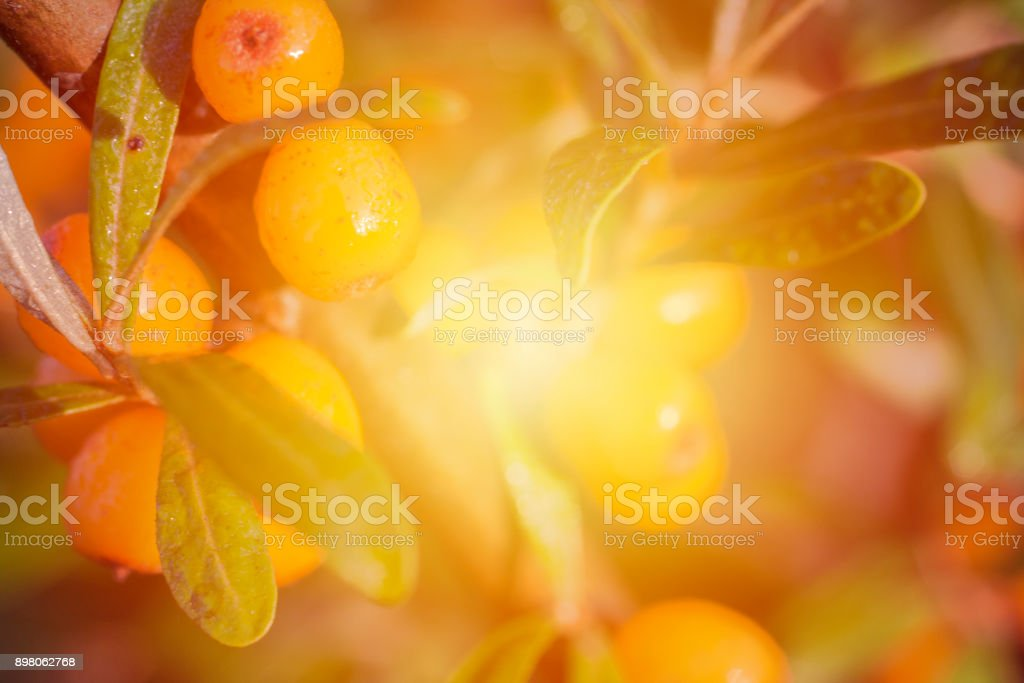 Seaberry close up background with yellow light spot. stock photo