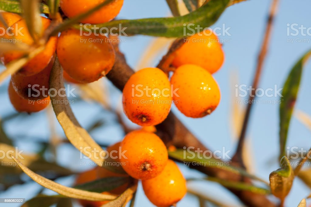 Seaberry on branch close up stock photo