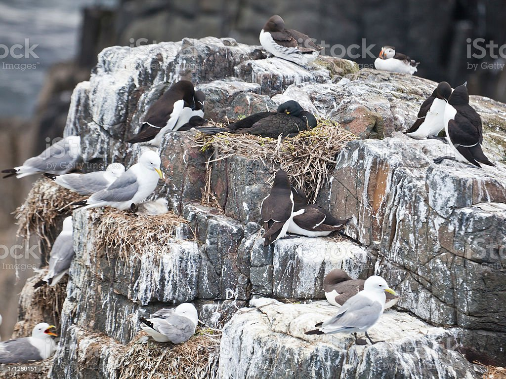 Seabird cliff with a variety of species, Farne Islands stock photo