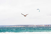 Seabird flying over the coastline of Sydney with kitesurfer, background with copy space, horizontal composition