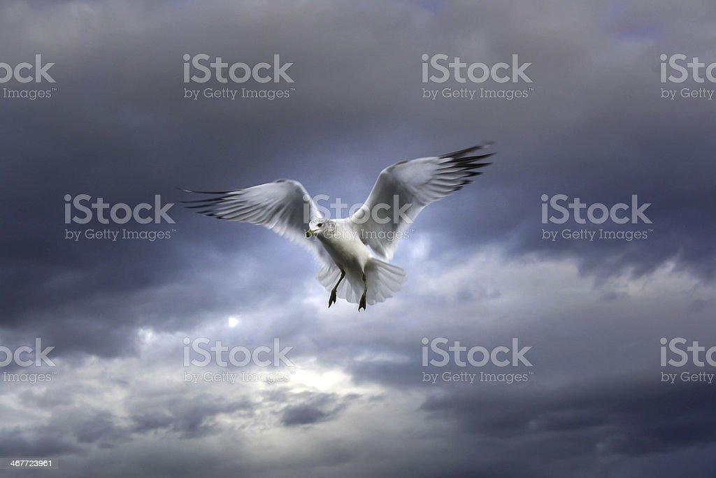 Seabird in the sky royalty-free stock photo