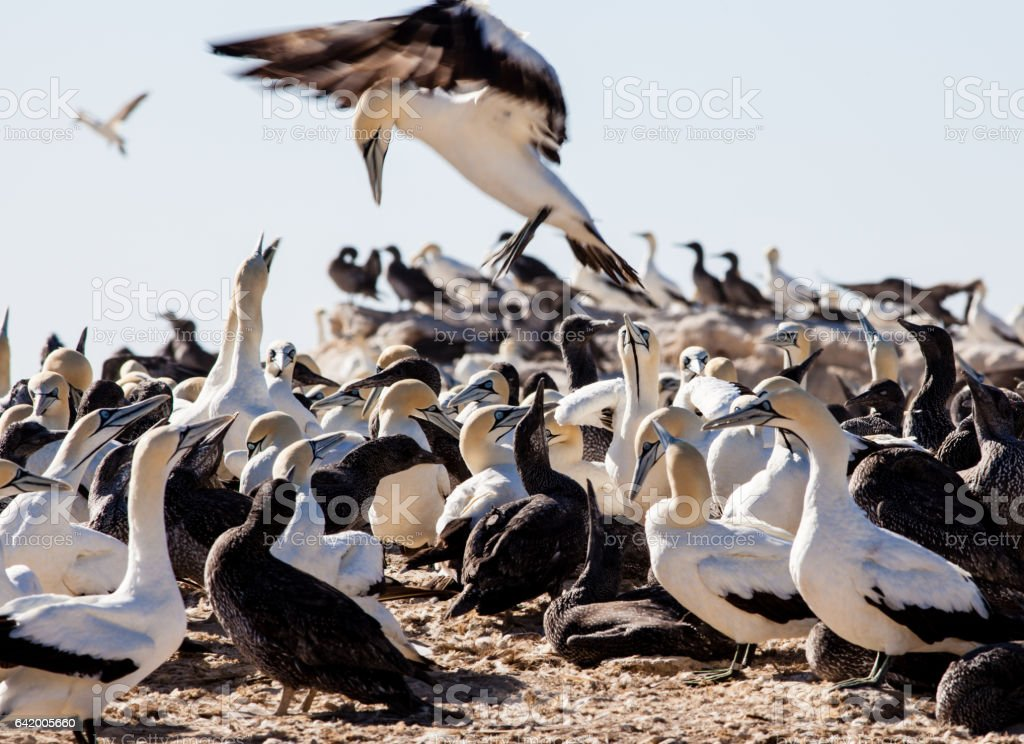 Seabird landing in gannet colony on Bird Island, Lambert's Bay stock photo