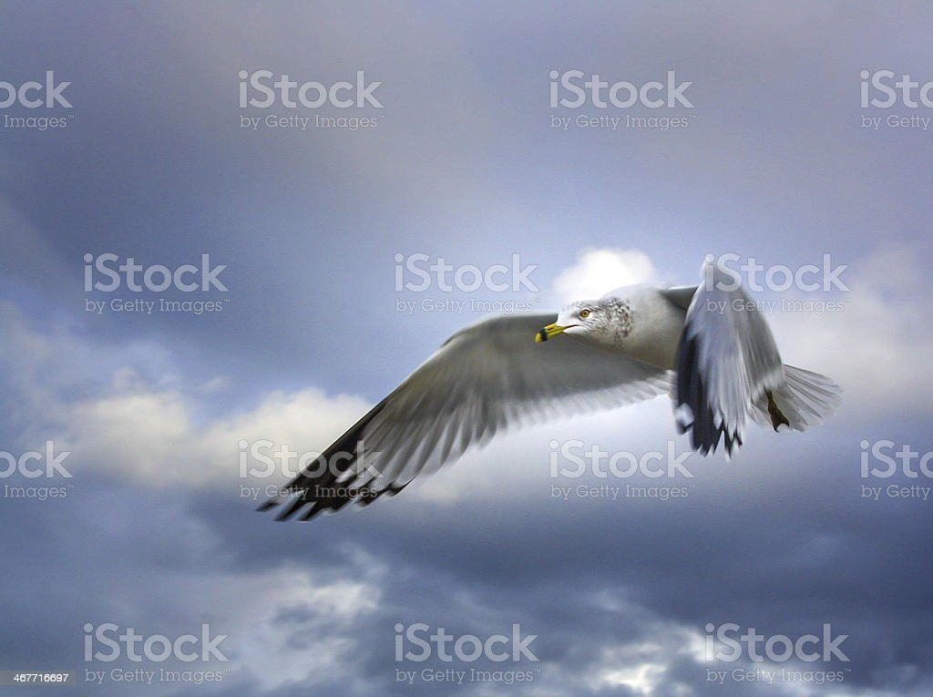 Seabird leading royalty-free stock photo