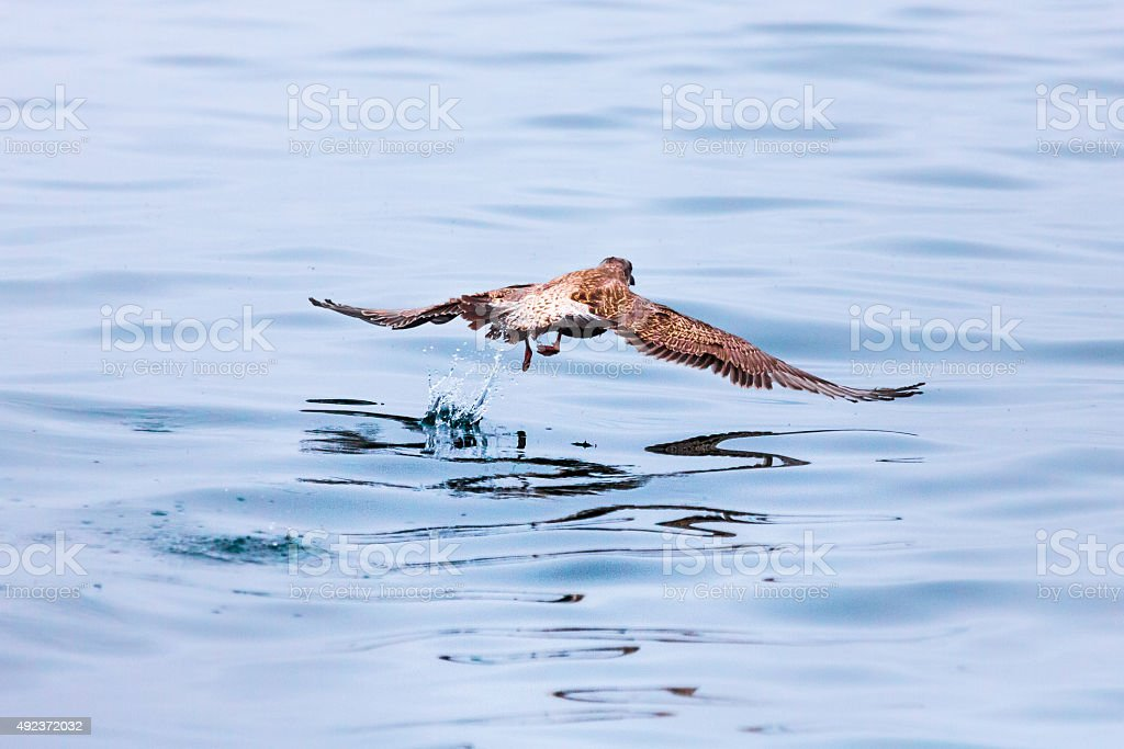 Seabird over the Water Surface stock photo