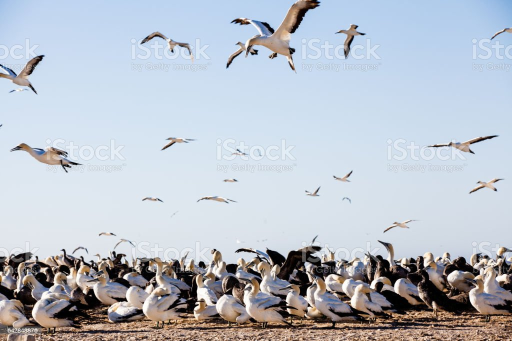 Seabirds fly over a gannet breeding colony at Lambert's Bay, South Africa stock photo