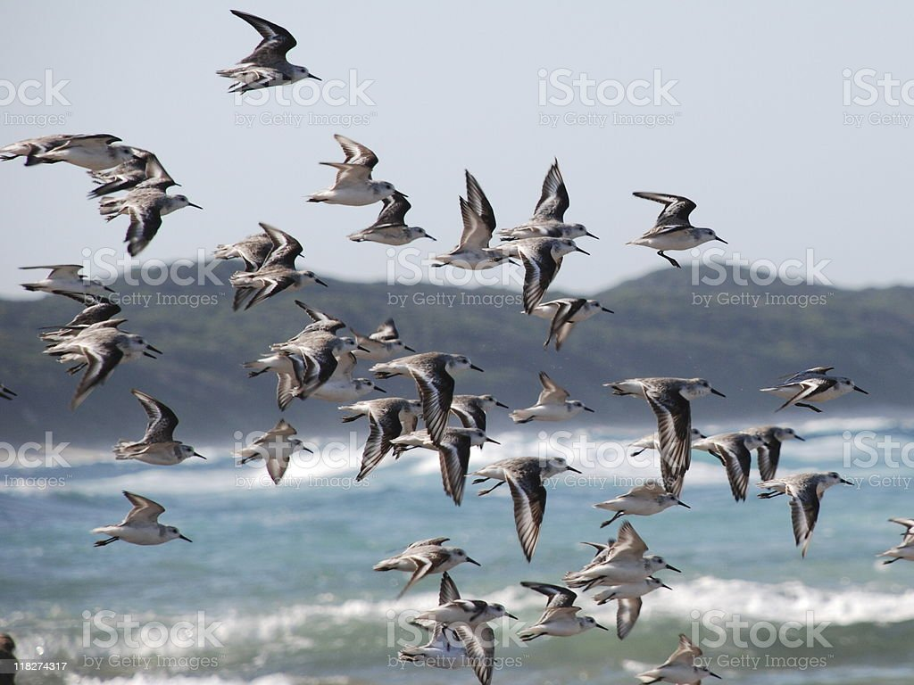 SeaBirds royalty-free stock photo
