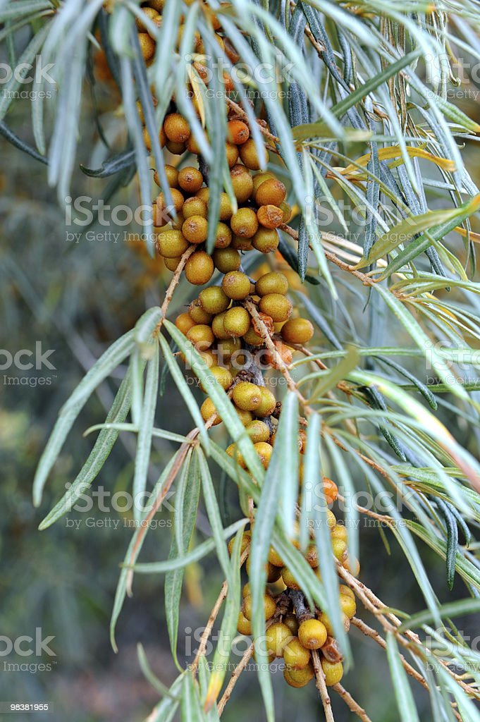 Sea-buckthorn royalty-free stock photo