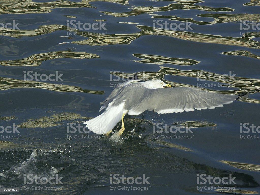 Seabull capture royalty-free stock photo