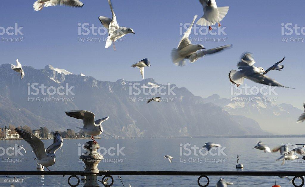 Seabull on swiss lake stock photo