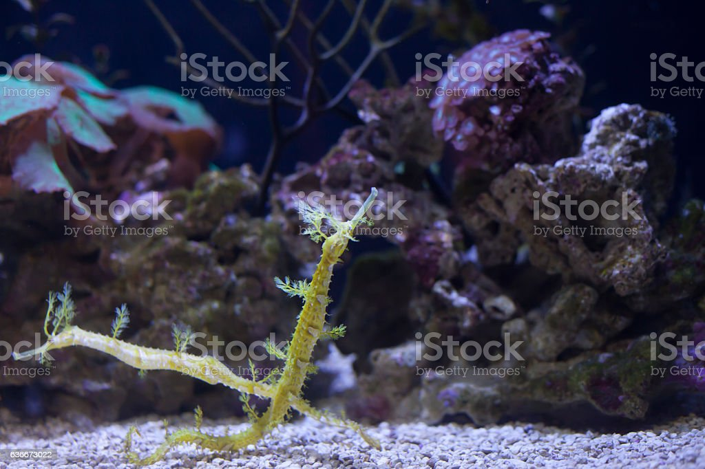 Seadragons stock photo
