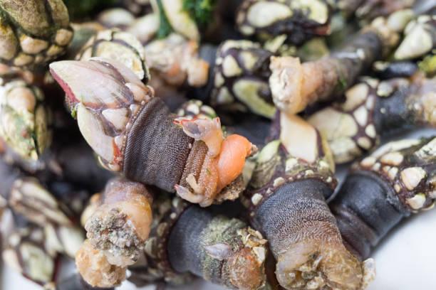Meeresfrüchte Gans Hals Barnacles – Foto