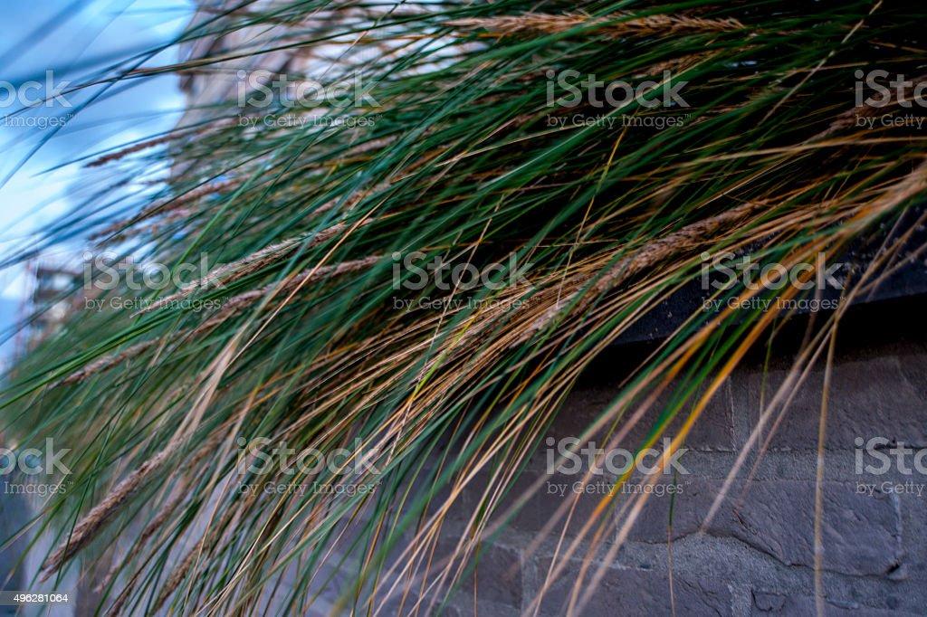 Seagrass dunes on the Belgian Coast stock photo