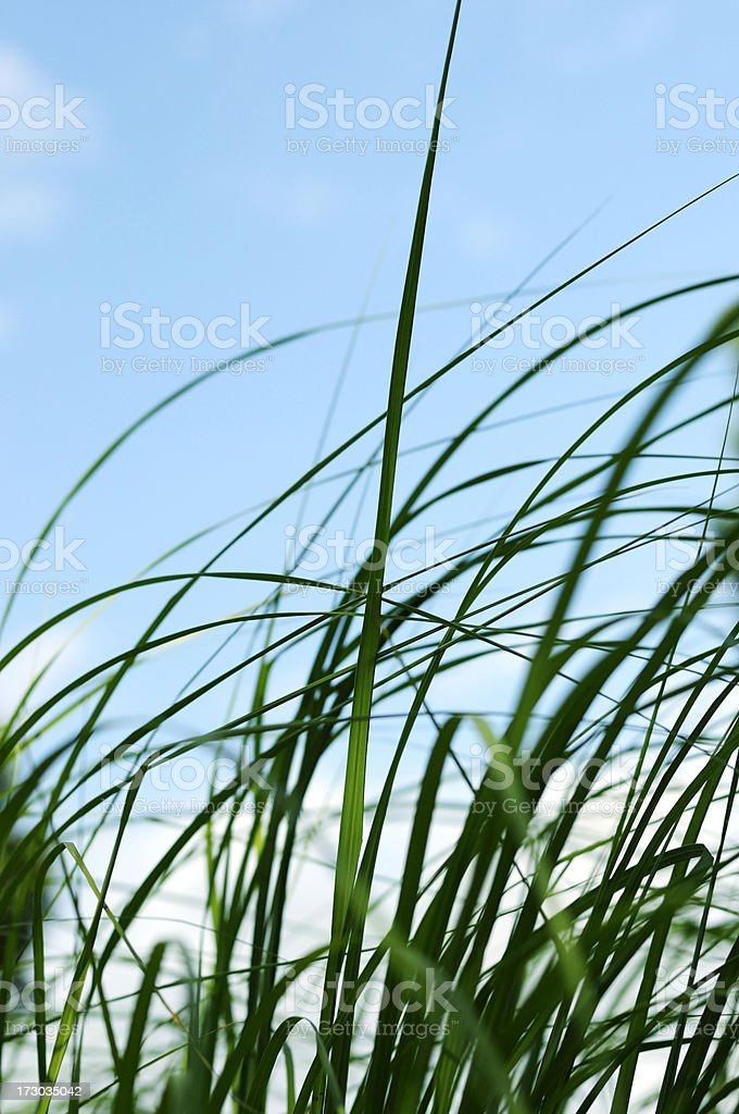 seagrass in the blue sky royalty-free stock photo