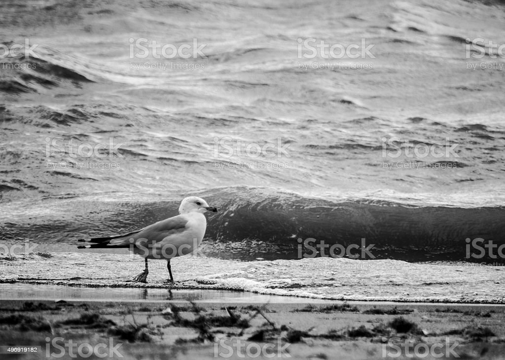 seagul black and white stock photo